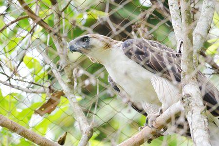 首隻人工繁殖菲律宾鹰(Pagasa)病逝